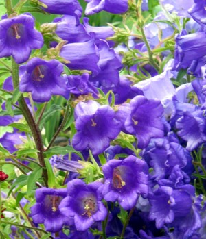 Canterbury bells it bears racemes of bell like flowers including shades of pink white purple lavender blue and violet the plant shape is pyramidal and leaves are long mightylinksfo
